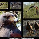 Harris's Hawk ~ Raptor Series by Kimberly Chadwick