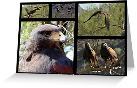 Harris's Hawk ~ Raptor Series by Kimberly Chadwick