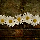 A Box of Daisies by Barbara Ingersoll