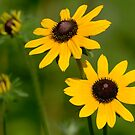 Black-eyed Susans by okcandids