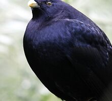 Satin Bowerbird by EnviroKey
