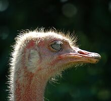 Ostrich - (Struthio camelus) by Robert Taylor