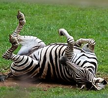Zebra roll over by ejrphotography