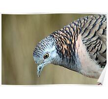 Bar-shouldered Dove Poster