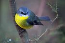 Eastern Yellow Robin by Travis Easton