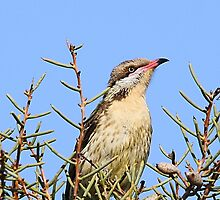 Spiny-cheeked Honeyeater by EnviroKey