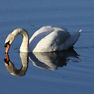 Swan Reflected by Meurig Davies