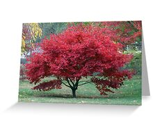 Red Dwarf Maple Tree Greeting Card