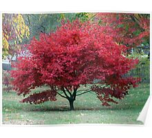 Red Dwarf Maple Tree Poster