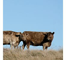 two brown cows Photographic Print
