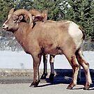 Big Horn Sheep, Jasper, Alberta, Canada by Adrian Paul