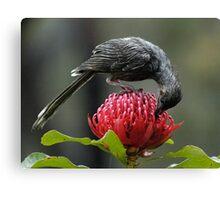 wattle bird, waratah 30-10-05 #1 Canvas Print
