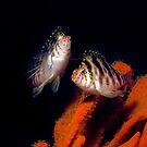 2 Blotched Hawkfish on Sponge by JimDodd