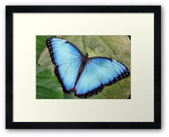 Blue Blue Morpho So Blue by Jo Nijenhuis