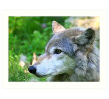Timber wolf on alert Art Print