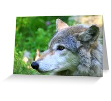 Timber wolf on alert Greeting Card