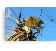 Leaf Hopper: Hemiptera Canvas Print