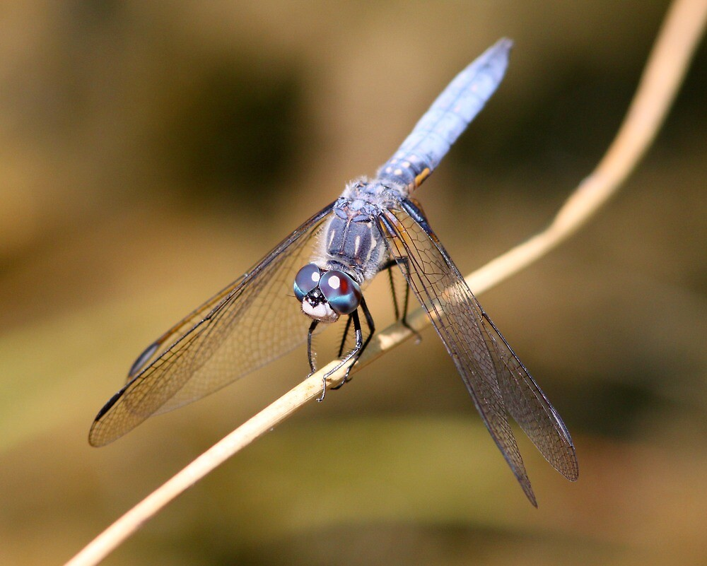 A Blue Dasher Strikes a Pose by Wolf Read