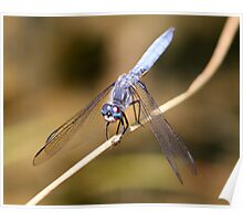 A Blue Dasher Strikes a Pose Poster