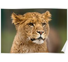 Musing lion cub Poster