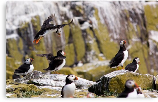 Puffin Party by Lynne Morris