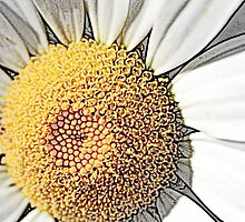 Wild Daisy by Melody Ricketts