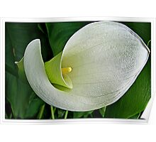 ~ Calla Beauty ~ Poster