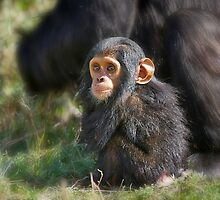Baby Common Chimpanzee, Pan troglodytes by travel4pictures