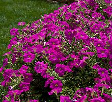 Backyard Petunias by Adam Bykowski