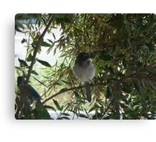 scrub jays Canvas Print