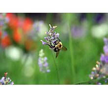 Flight of the Bumblebee Photographic Print