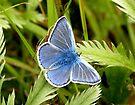 Silver Studded Blue Butterfly by rhian mountjoy