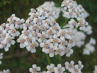 White Yarrow by linderel
