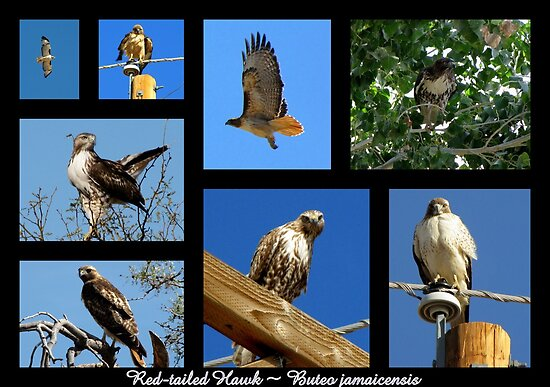 Red-tailed Hawk ~ Raptor Series by Kimberly Chadwick