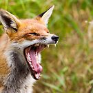 Red Fox Yawn by Peter Denness