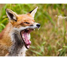 Red Fox Yawn Photographic Print