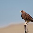 Swainson's Hawk by Gary Lengyel