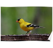 American Goldfinch (Male) Poster