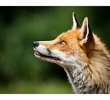 What Do Foxes Dream Of? Photographic Print