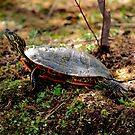 Western Painted Turtle by Larry Trupp