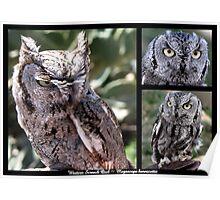 Western Screech Owl ~ Raptor Series Poster