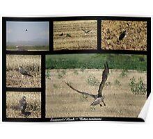 Swainson's Hawk ~ Raptor Series Poster
