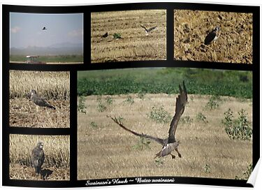 Swainson's Hawk ~ Raptor Series by Kimberly Chadwick