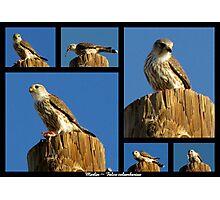 Merlin ~ Raptor Series Photographic Print