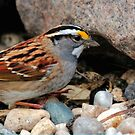 White Throated Sparrow by Larry Trupp