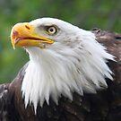 Bald Eagle by Jo Nijenhuis