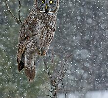 Great Grey Owls 3 by Owl-Images