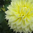 Chrysanthemum 2 by Ann Warrenton