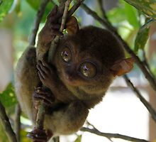 Tarsier by growler