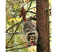 Raccoon in a Tree Photographic Print